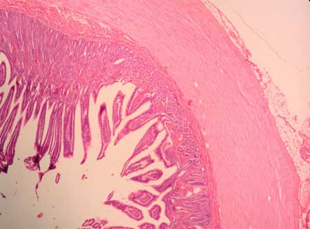 Jejunum Histology Labeled