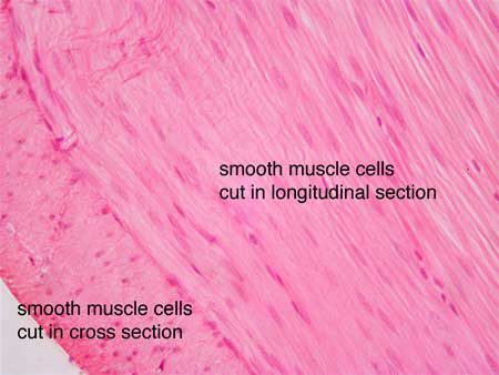 smooth muscle, Muscles